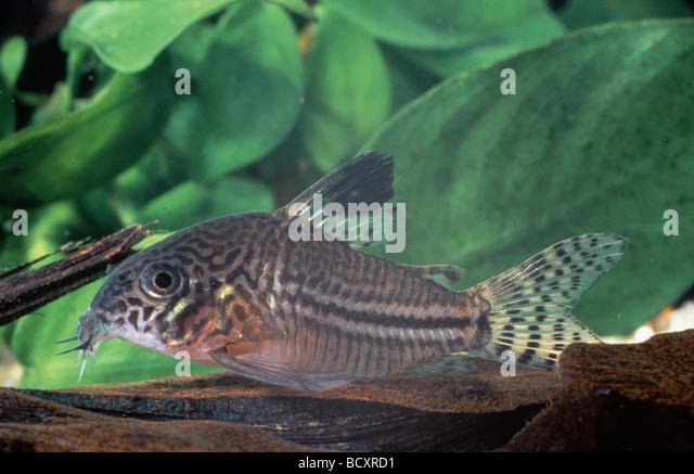 Callichthyidae Stock Photos & Callichthyidae Stock Images - Alamy