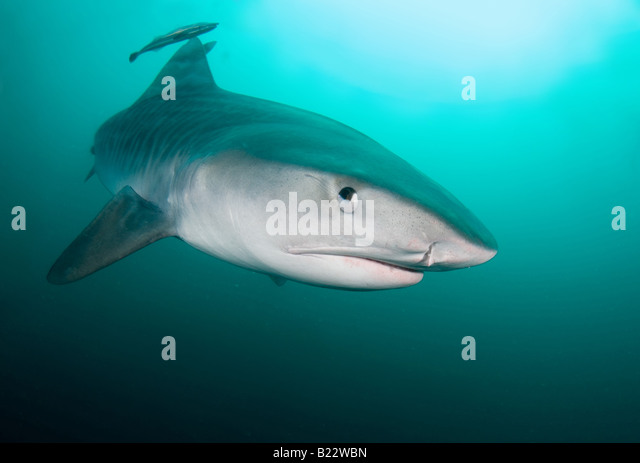 Umkomaas South Africa  city pictures gallery : umkomaas south africa indian ocean tiger shark umkomaas south africa ...