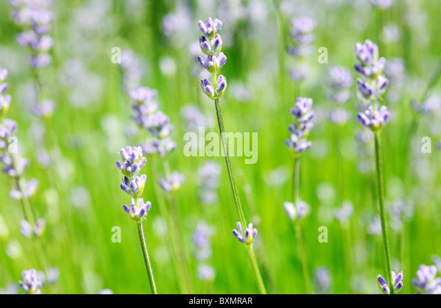 dwarf lavender stock photos dwarf lavender stock images. Black Bedroom Furniture Sets. Home Design Ideas