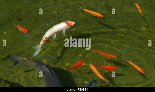Koi fish in pond stock photos koi fish in pond stock for Koi fish australia