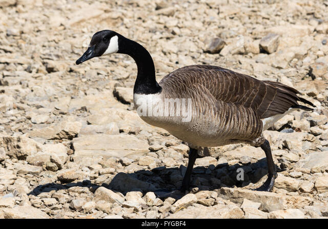 The Canada Goose' Branta Canadensis 5 sheets.