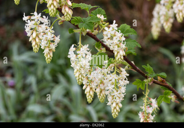 Spring flowering currant stock photos spring flowering currant white flowers of the early spring flowering currant ribes sanguineum white icicle mightylinksfo