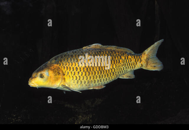 Koi carp cyprinus carpio stock photos koi carp cyprinus for Koi fish australia