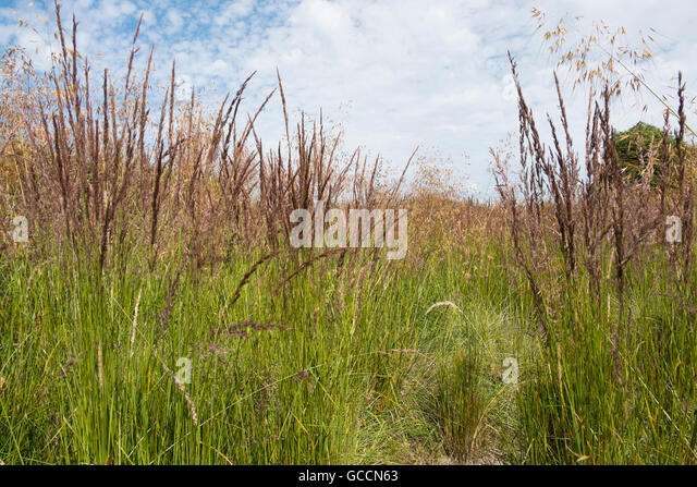 Green ornamental grasses perennials stock photos green for Large grasses for landscaping