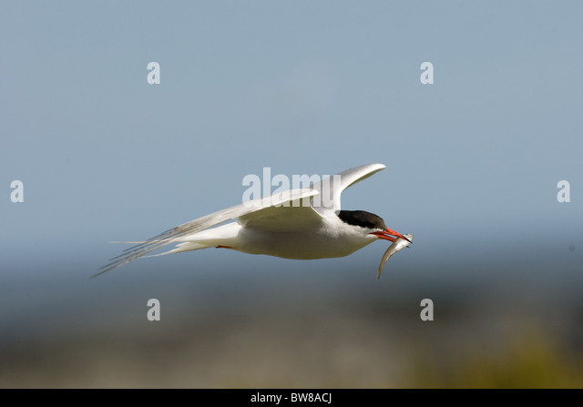 seabird and arctic terns Capsule recent annual productivity of arctic terns sterna paradisaea in iceland   population declines are evident among arctic terns and many other seabird.