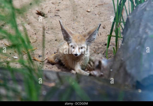 Nocturnal animals czech republic dollarfilecloud - Pagina da colorare fennec fox ...