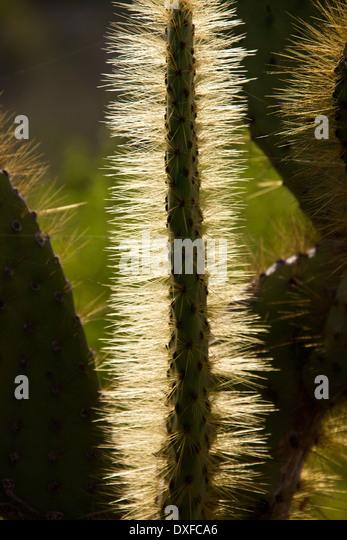 Galapagos cactus stock photos galapagos cactus stock for Cactus santiago