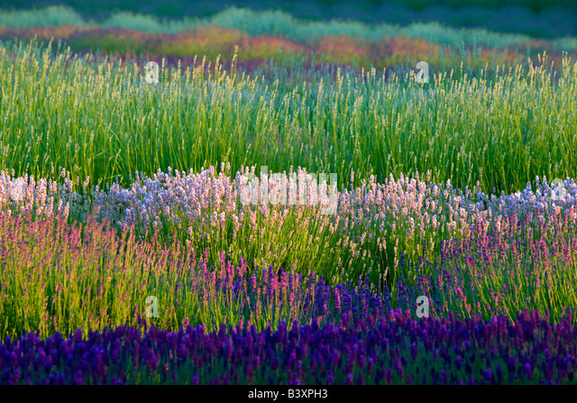 Personable Botanical Garden Stock Photos  Botanical Garden Stock Images  Alamy With Luxury Fields Of Various Lavender Plants Purple Haze Lavender Farm Washington   Stock Image With Delightful Eugene Garden Store Also London Graphic Centre Covent Garden In Addition Swinging Garden Bench And Garden Cabin Ideas As Well As Types Of Garden Birds Additionally Garden Oil Lamp From Alamycom With   Luxury Botanical Garden Stock Photos  Botanical Garden Stock Images  Alamy With Delightful Fields Of Various Lavender Plants Purple Haze Lavender Farm Washington   Stock Image And Personable Eugene Garden Store Also London Graphic Centre Covent Garden In Addition Swinging Garden Bench From Alamycom