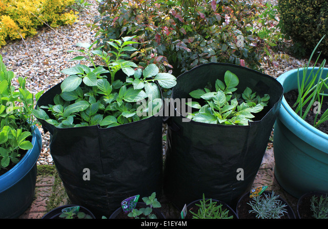 Potatoes Growing In Bags On Patio   Stock Image