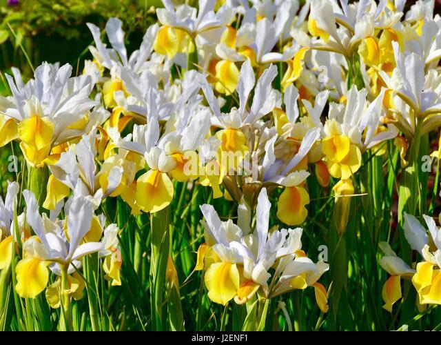 Iris jaune stock photos iris jaune stock images alamy for Aubade jardin d iris