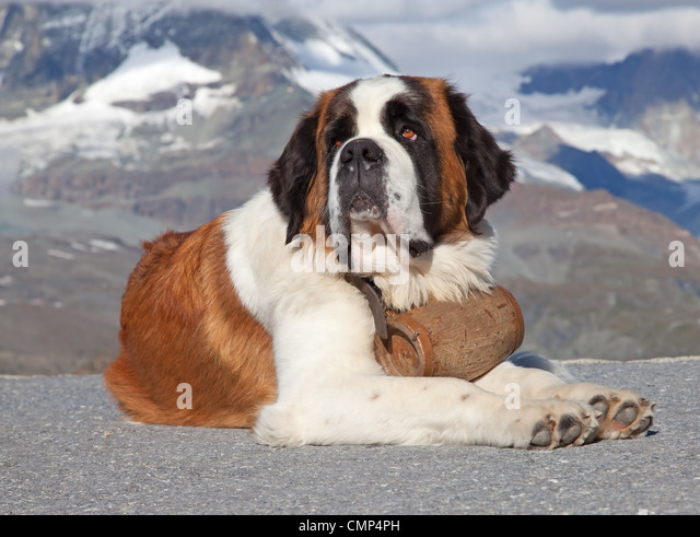 saint bernard rescue stock photos saint bernard rescue. Black Bedroom Furniture Sets. Home Design Ideas