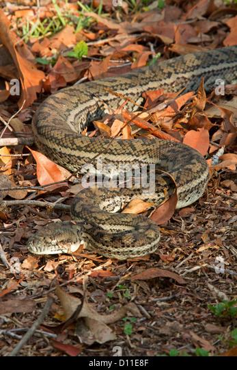 Australian Carpet Snake, A Python, Moving Across Dry Brown Leaves On Forest  Floor In