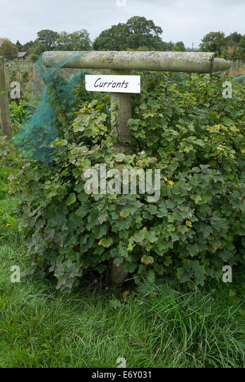 how to grow red currants