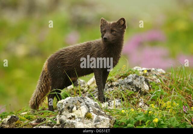 Tundra Arctic Fox In Summer Arctic Fox Summ...
