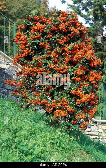 pyracantha orange glow pflanzen f r nassen boden. Black Bedroom Furniture Sets. Home Design Ideas