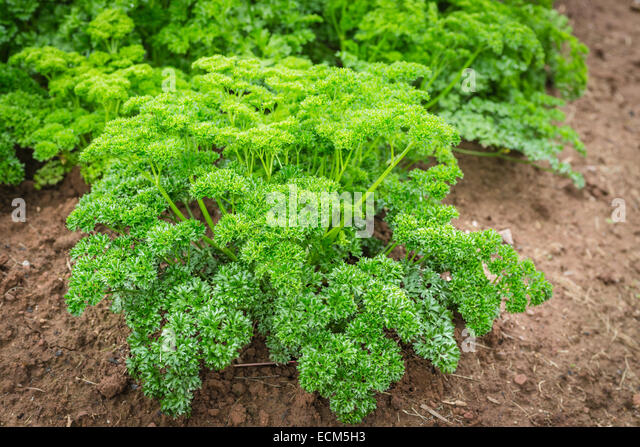 how to grow parsley from scraps