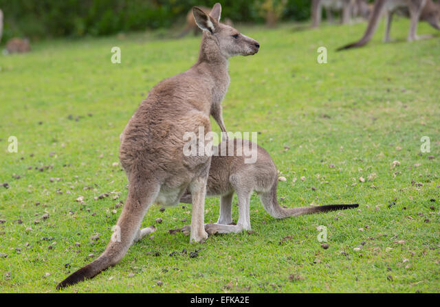kangaroo and feature female kangaroos Female kangaroos have a pouch called a marsupium  the female kangaroo is usually  the kangaroo and wallaby feature predominantly in.