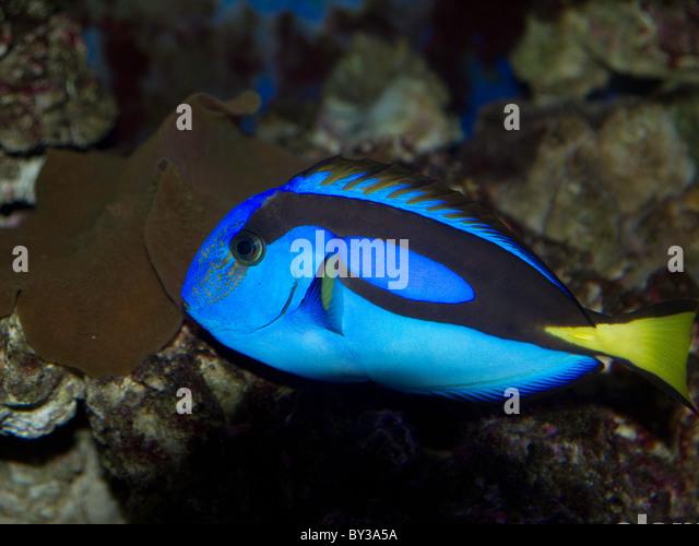 Hepatus stock photos hepatus stock images alamy for Tropic fish hawaii