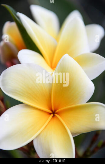 white yellow tropical flowers stock photos  white yellow tropical, Natural flower