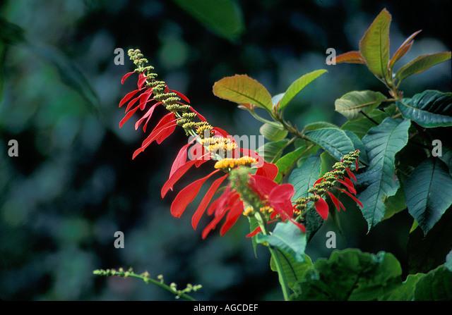 Chaconia Or Wild Poinsettia Warszewiczia Coccinea RUBIACEAE