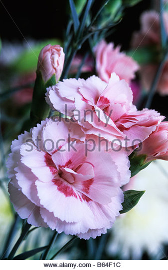 Old-Fashioned Pinks - Dianthus - Select Seeds 15