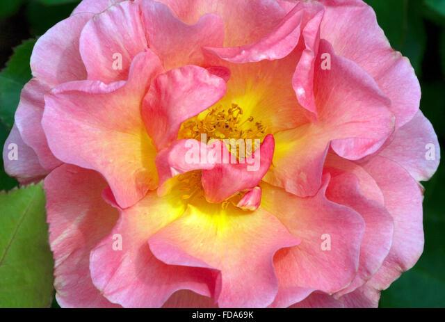 englische rose lilian austin stock photos englische rose lilian austin stock images alamy. Black Bedroom Furniture Sets. Home Design Ideas