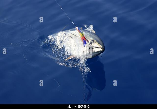 Bluefin tuna atlantic stock photos bluefin tuna atlantic for Blue fin fish
