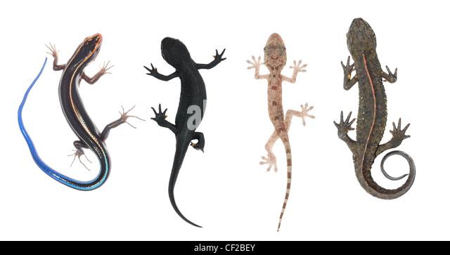 Gecko Salamander Tail Stock Photos & Gecko Salamander Tail Stock ...