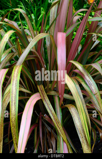 new zealand flax phormium pink stock photos new zealand flax phormium pink stock images alamy. Black Bedroom Furniture Sets. Home Design Ideas