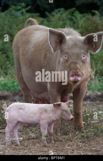 Modern Pig Sty: Large White Sow Stock Photos & Large White Sow Stock