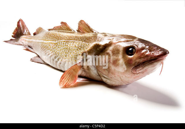 Edible fish stock photos edible fish stock images alamy for Types of edible fish