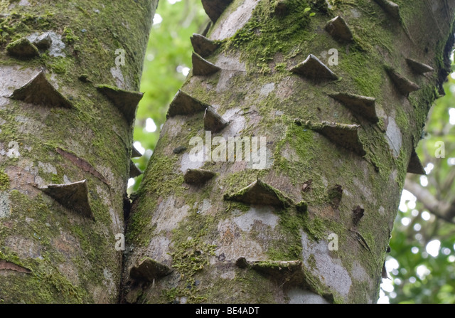 what is a tree trunk covered with 4 letters - the gallery for silk floss tree young