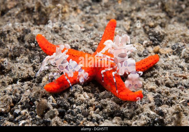 Harlequin Shrimp, Hymenocera picta, lifting starfish leg, Tulamben ...