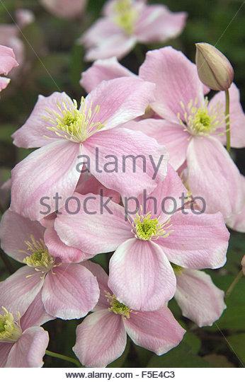clematis montana plant stock photos clematis montana. Black Bedroom Furniture Sets. Home Design Ideas