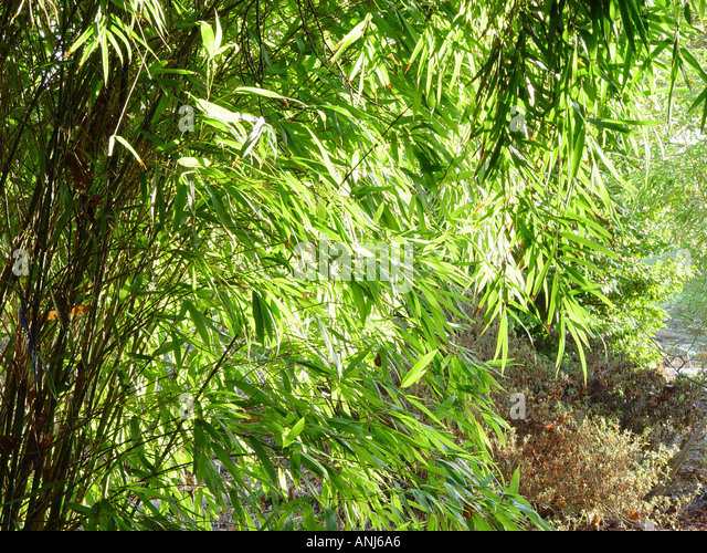 phyllostachys 39 aurea 39 stock photos phyllostachys 39 aurea 39 stock images alamy. Black Bedroom Furniture Sets. Home Design Ideas