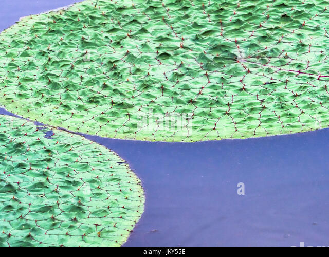 Kenilworth Aquatic Gardens Washington Stock Photos & Kenilworth ...