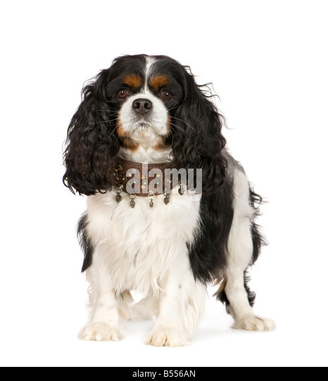 Wondrous Brown Curly Dog Stock Photos Brown Curly Dog Stock Images Alamy Hairstyle Inspiration Daily Dogsangcom