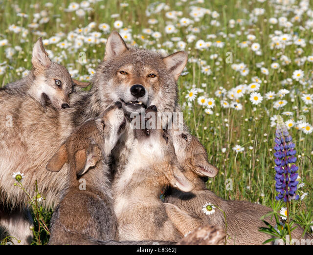 http://l7.alamy.com/zooms/6e1efb304e3d4b13a9513ad5bc4e3db7/grey-wolf-puppies-playing-with-mother-e8362j.jpg Gray
