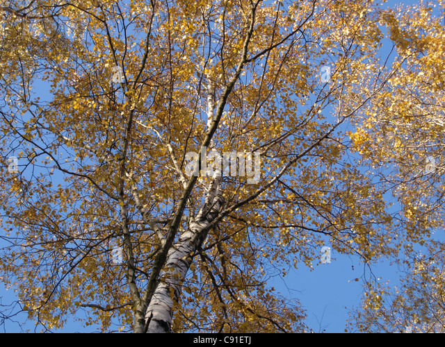 birch tree in autumn birke stock photos birch tree in. Black Bedroom Furniture Sets. Home Design Ideas