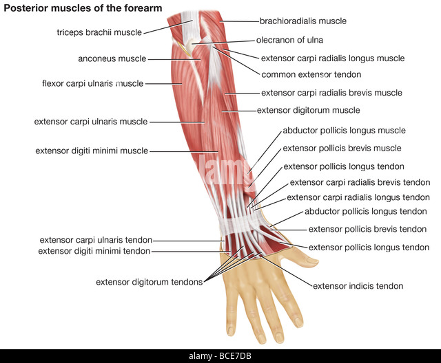 abductor pollicis brevis stock photos & abductor pollicis brevis, Sphenoid