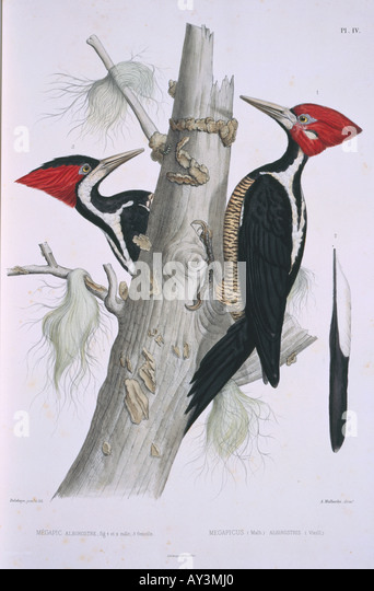 campephilus principalis ivory billed woodpecker stock image