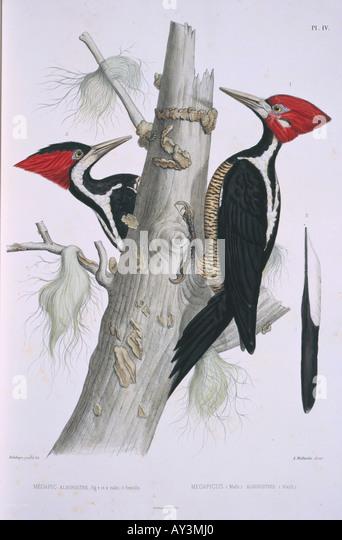 campephilus principalis ivory billed woodpecker stock image