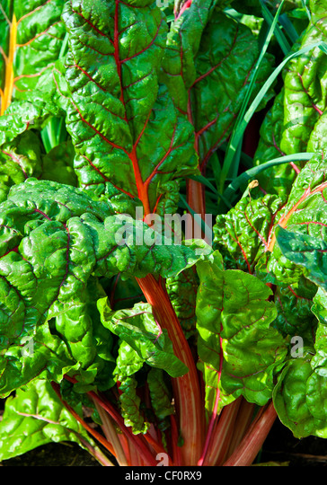 Rhubarb Flowers What To Do When Rhubarb Goes To Seed: Perennial Gardens Stock Photos & Perennial Gardens Stock