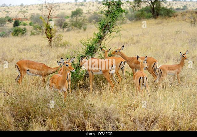 Impala Rooibok Stock Images, Royalty-Free Images &amp- Vectors ...