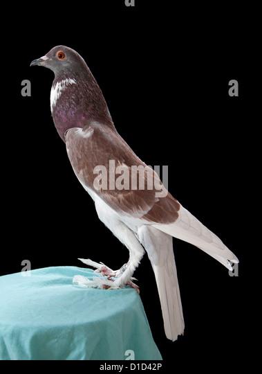 Pouter Pigeon Stock Photos & Pouter Pigeon Stock Images ...