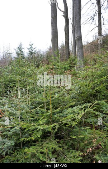 Natural regeneration of fir, spruce and beech under a canopy of overwood of beeches and firs in a mountainous forest - Stock Image