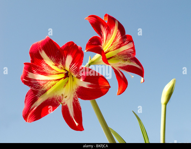 Amaryllis bulb stock photos amaryllis bulb stock images for Hippeastrum royal red entretien