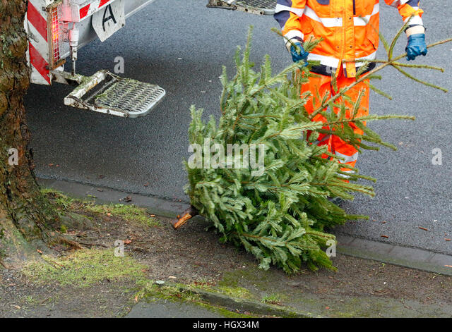 collection of a christmas tree after the christmas festival by a binman for disposal refuse - Christmas Tree Removal