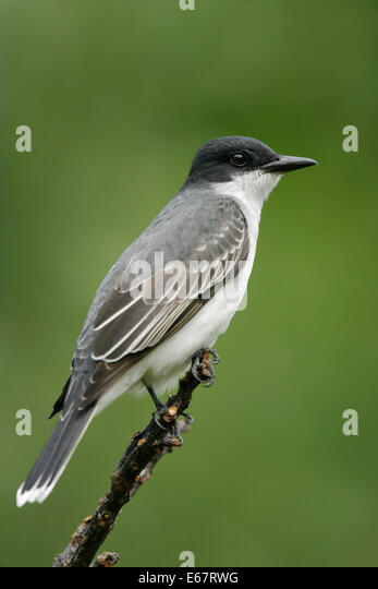 Tyrannus tyrannus stock photos tyrannus tyrannus stock images eastern kingbird tyrannus tyrannus stock image thecheapjerseys Image collections
