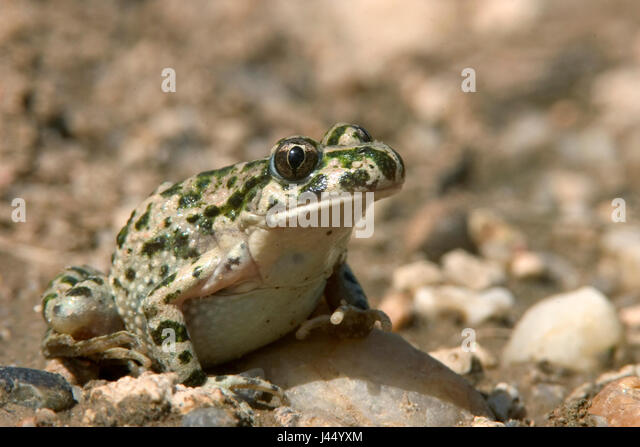 picture of a parsley frog on gravel - Stock Image